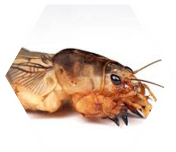 Pest Control Mole Crickets