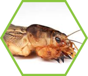 Pest Control Mole Crickets