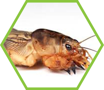 pest-control-mole-crickets_2
