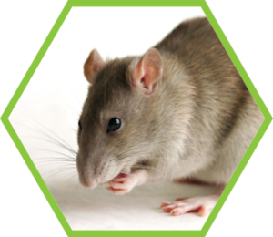 Pest Control Rodents