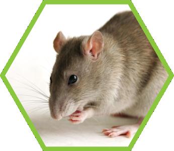 pest-control-rats_2